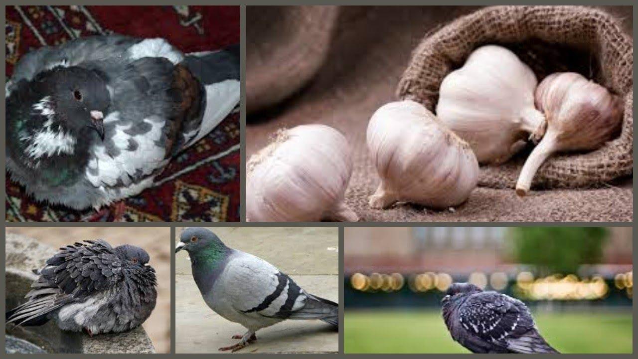 Garlic(Lassan) a herb antibiotic & antibacterial medicine for pigeons