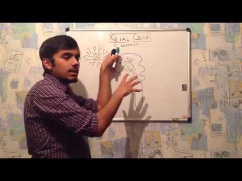 GLIAL CELL- ASTROCYTES   [ neuroanatomy part-2 ]