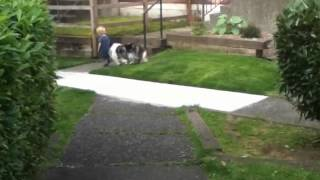Toddler Trains A Dog To Walk On Leash