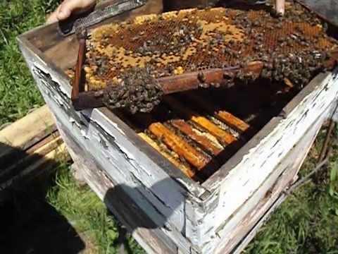 подсадка помеченной лаком, пчелиной матки, обратно в улей