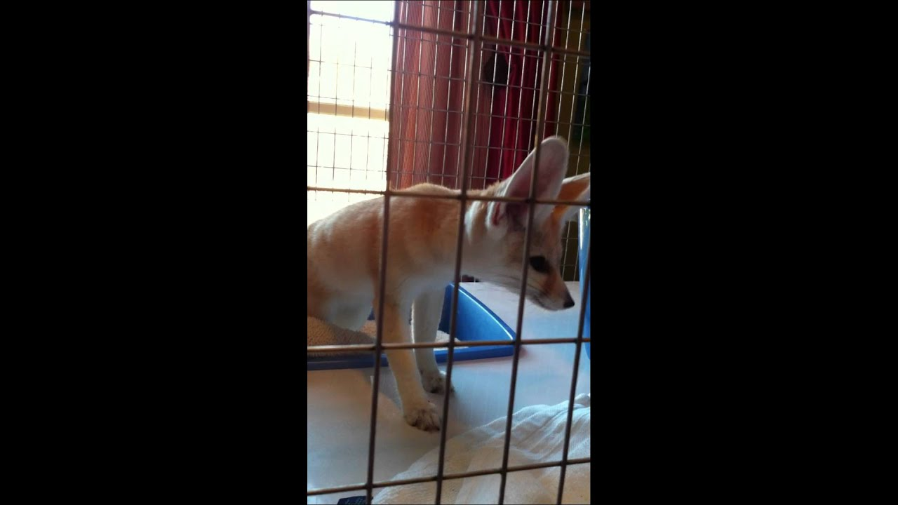 What Does The Fox Say Fennec Fox Barking Youtube