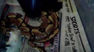 Spider ball python - crazy wobble when feeding