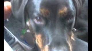 Rottweiler/labrador Mix