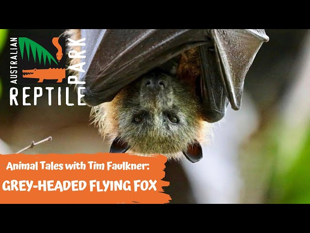 ANIMAL TALES WITH TIM FAULKNER | EPISODE 28 | GREY-HEADED FLYING FOX