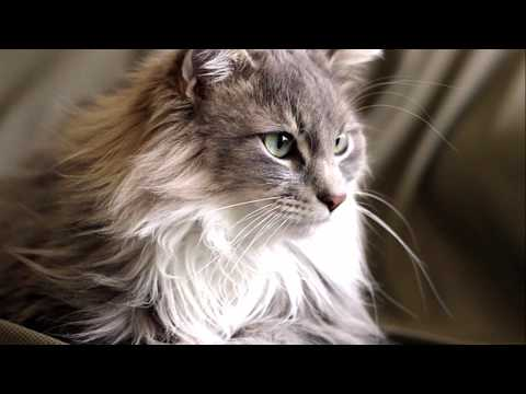 🐱🐾Maine Coon🐾😸
