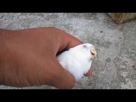 Most Cute Love Bird Died