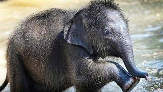 Lap Elephants ★ FUNNY & CUTE ELEPHANTS [Funny Pets]
