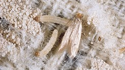 Complete Life Cycle of Clothes Moth on a Wool Rug
