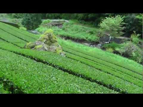 Beautiful high mountain Japan green tea farm - softypapa adventures