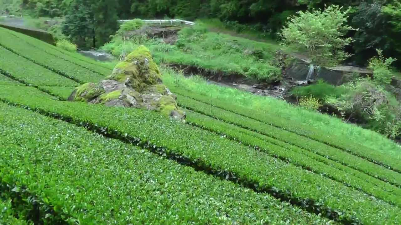 Beautiful High Mountain Japan Green Tea Farm Softypapa