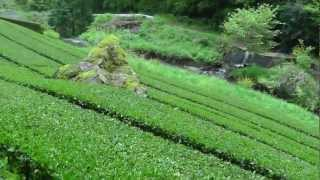 Beautiful high mountain Japan green tea farm - softypapa adventures