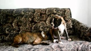 Немецкий боксёр / boxer dog