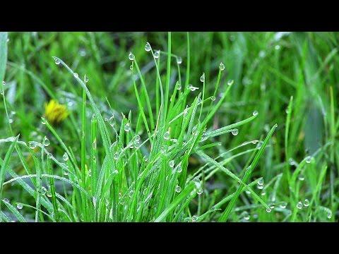 Капельки утренней росы на траве (04.05.16)