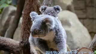 2018/05/17 koala コアラ ティリー リン お母さんにしっかりつかまるリ...