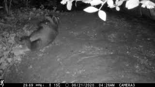 Badger cub, just lying around