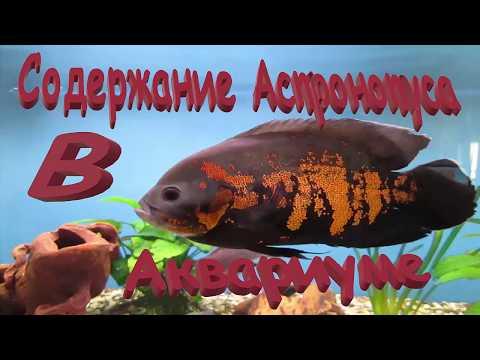 Астронотус оскар. Содержание Астронотусов в аквариуме.