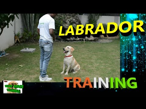 Train Your Labrador Retriever Dog Easily