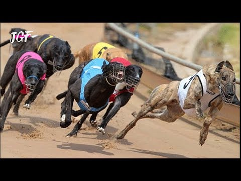 Irish greyhound racing - Track race