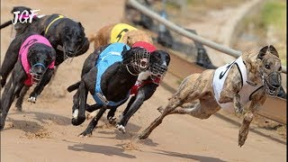 Irish greyhound racing  Track race