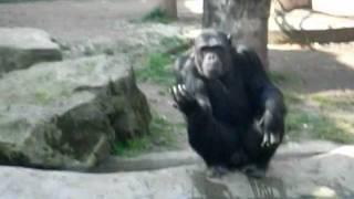 ZOO de BARCELONA. Горилла в зоопарке Барселоны(Другие видео :http://youtu.be/xKY5lX3oieQ какие в Каталонии бывают колбасные изделия?, 2011-12-12T21:55:31.000Z)