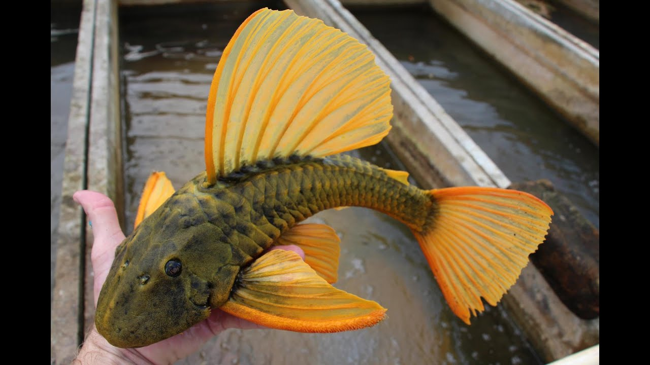 Watch besides Watch in addition Home additionally Topic 7793 9 Photos De Poisson  battant together with Astronotus Ocellatus. on rare oscar fish