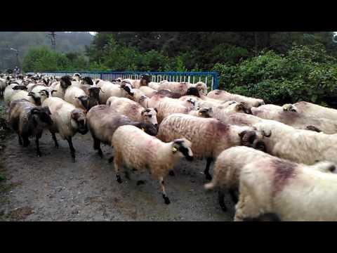 parol urca oile la munte mp3