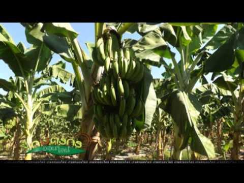 รายการเกษตรกรออนไลน์ ตอนปลูกกล้วยหอมทองปลอดสารพิษ ออกอากาศ 3/12/56 เทปที่ 54