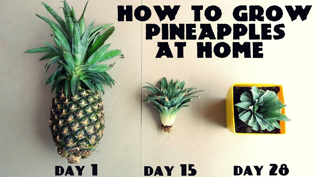 How to grow pineapples at home fast n easy youtube for How to plant a pineapple top in a pot