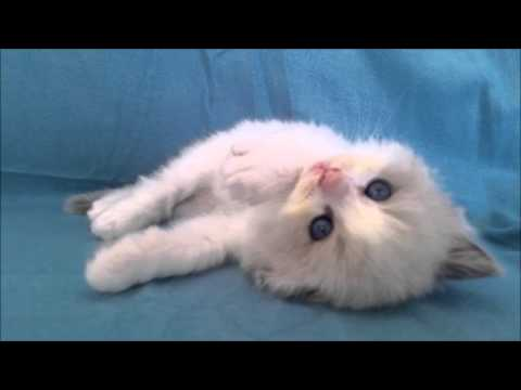 Ragdoll Kitten ( Best Day Of My Life - American Authors )