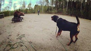 rottweiler bear test