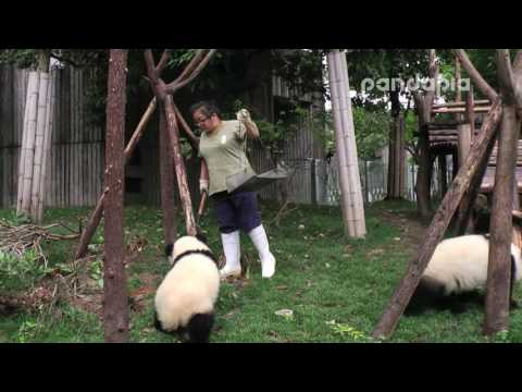 Trying to clean up the leaves inside a Panda enclosure