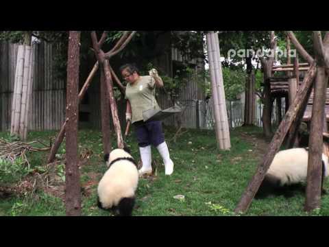 Panda breeder's poo-cleaning work.