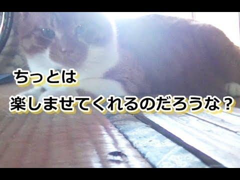 ハエトリグモに興味を持った猫さん【侵入した野良仔猫】~家猫修行中~