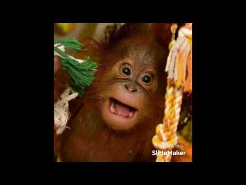 The cutest orangutan ever
