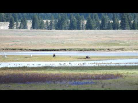 Wolves and Grizzlies Fight over carcass in yellowstone