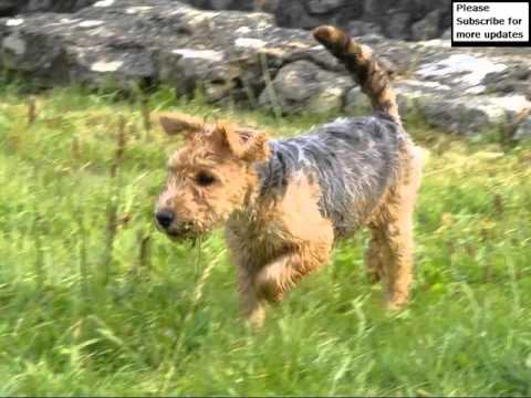 Dog Lakeland Terrier | Picture Collection Of Terrier Dog Breed
