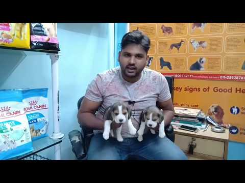 BEAGLE PUPPY AVAILABLE IN DELHI AND INDIA..9811962478