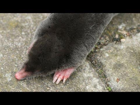 Talpa europaea (Maulwurf / Mole / Topo Común)