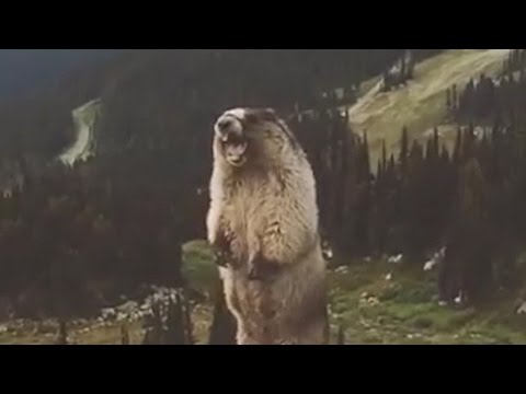 [Poetry] Marmot Sings Mozart's Queen of the Night Aria