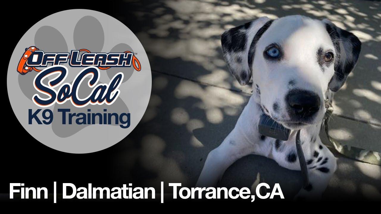 Finn | Dalmatian | Torrance, CA