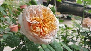 Leander (AUSlea) / David Austin 1982 English Rose Collection