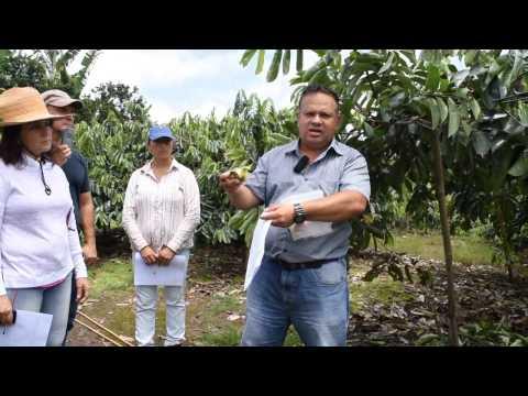 Polinización de la guanábana, Soursop pollinate
