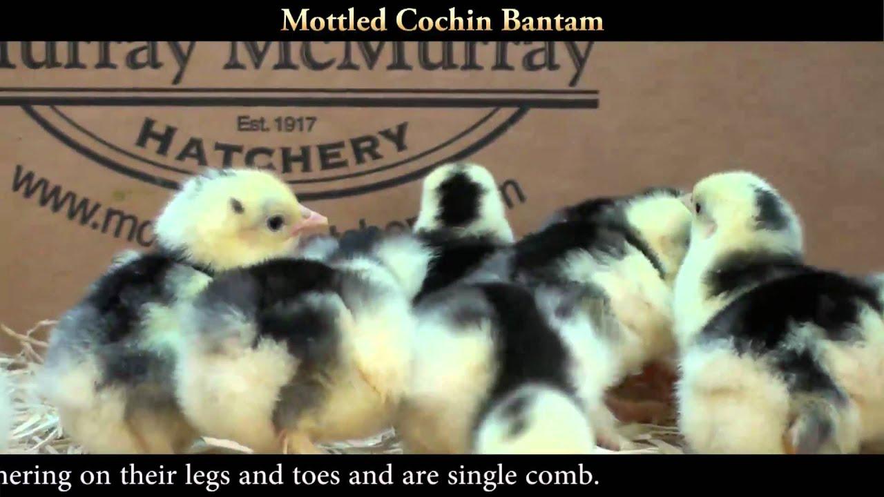 Mottled Cochin Bantam Chicks - Youtube-7167