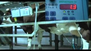 La traite des vaches laitières -  Centre d'élevage de Poisy