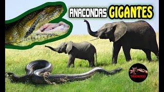 vuclip ANACONDAS GIGANTES REALES: Anacondas mas grandes del mundo – Animales salvajes