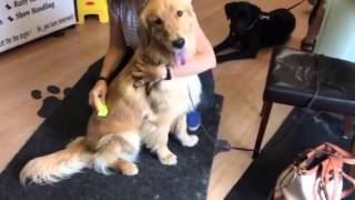 Equigroomer With Golden Retriever