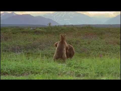 Нашествие медведей на Камчатке