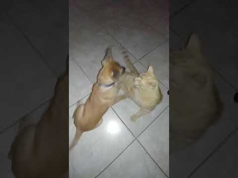 Sheprador and cat playing