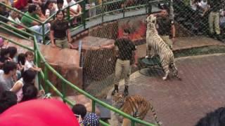 Tiger show taman safari Indonesia 3 juli 2017
