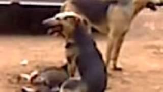 большие собаки маленькую трахают!!!!